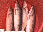 探寻七星鲈鱼好源头
