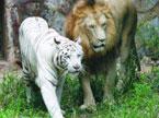当狮子爱上母老虎