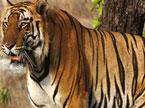 奇趣大自然20100913期:印度班达迦:老虎殿堂