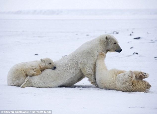 可爱的动物头像北极熊